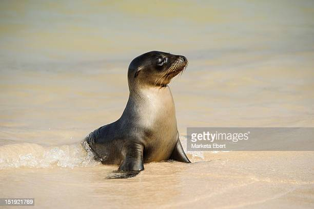baby sea lion - seal pup stock photos and pictures