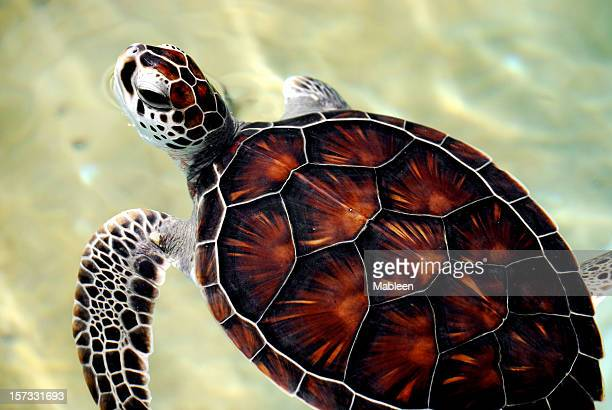baby sea turtle, focus on head - green turtle stock pictures, royalty-free photos & images