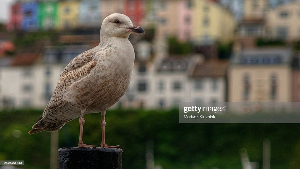 Baby Seagull And Brixham Colourful Marina Stock Photo | Getty Images