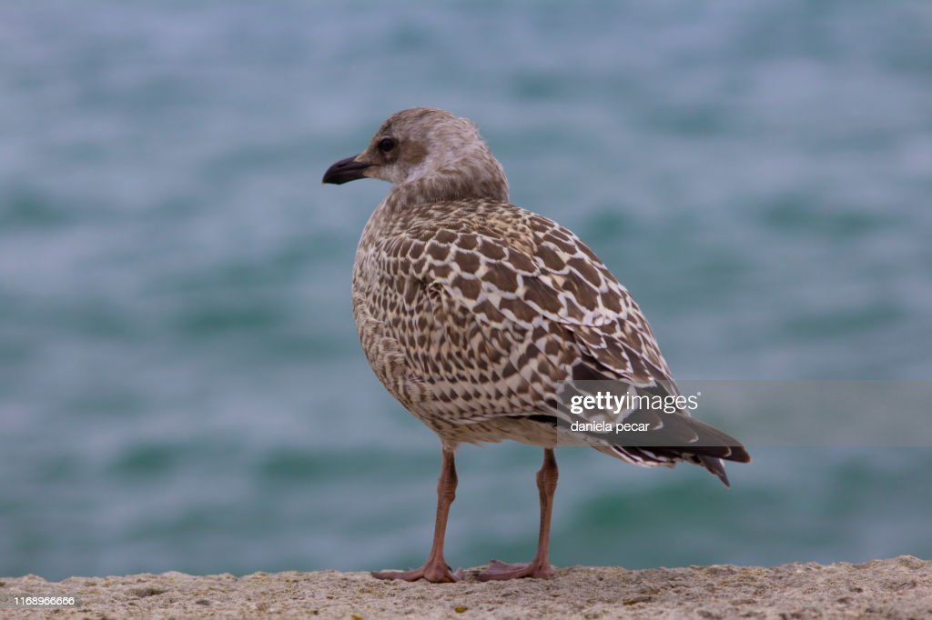Baby Seagull Full Lenght Stock Photo - Getty Images