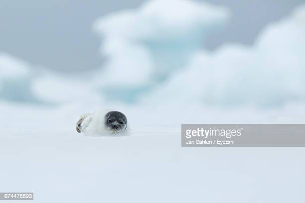 baby seal in snowy landscape - seal animal stock pictures, royalty-free photos & images