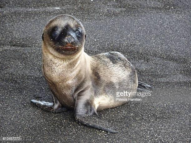 Baby seal lion, Galapagos