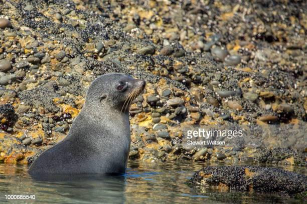 Baby seal playing at Wharariki Beach