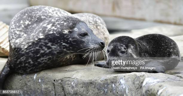 A baby seal pup called Cody with its mother who was born this morning at the Blue Reef Aquarium in Tynemouth