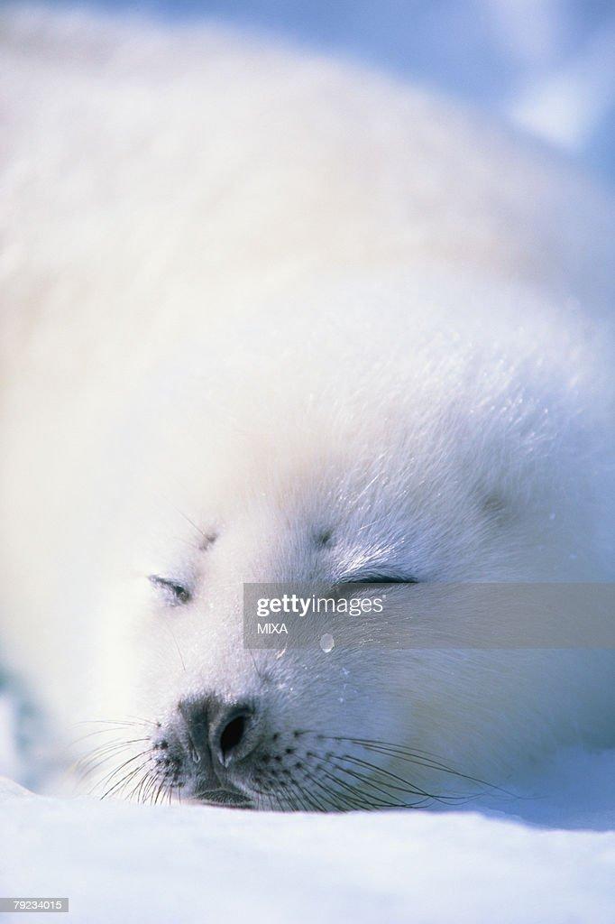 Baby seal sleeping : Stock Photo