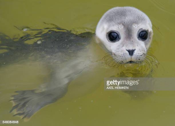 A baby seal swims in a pool of the seal breeding station in Friedrichskoog northern Germany on July 11 2016 The station close to the North Sea cares...