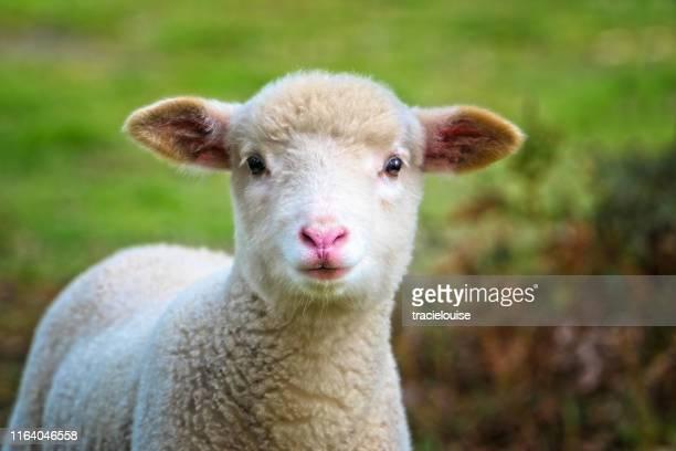 baby sheep close up - agnellino foto e immagini stock