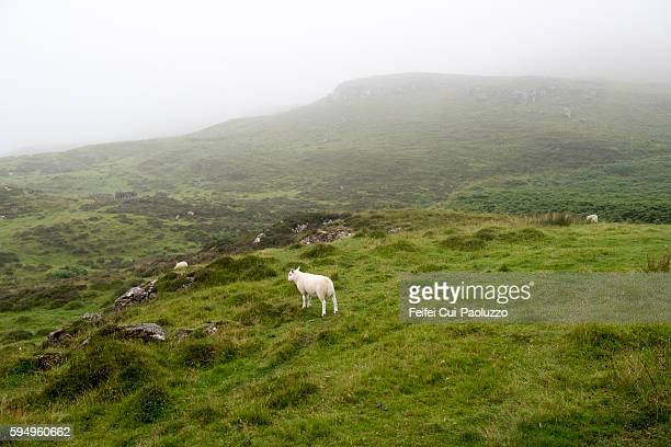 Baby Sheep near Achleck Cottage in Isle of Mull Scotland
