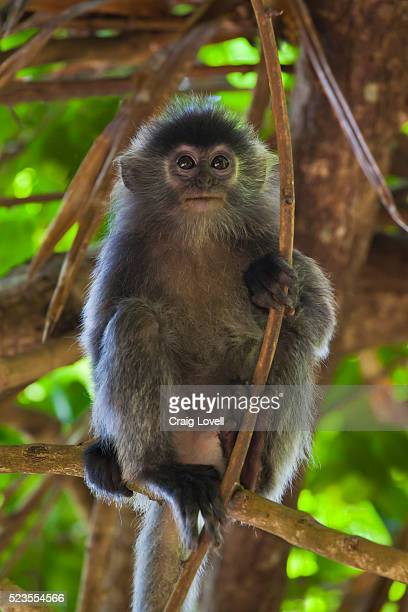 a baby silvery lutung or silvered leaf monkey (trachypithecus cristatus) - bako national park stock pictures, royalty-free photos & images