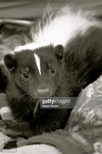 baby skunk b&w - skunk stock pictures, royalty-free photos & images
