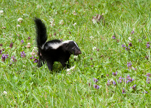 Baby Skunk in a Meadow with Wildflowers 482195550