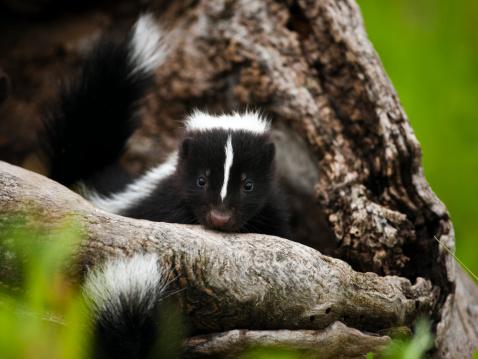 Baby skunk in den. 182821778