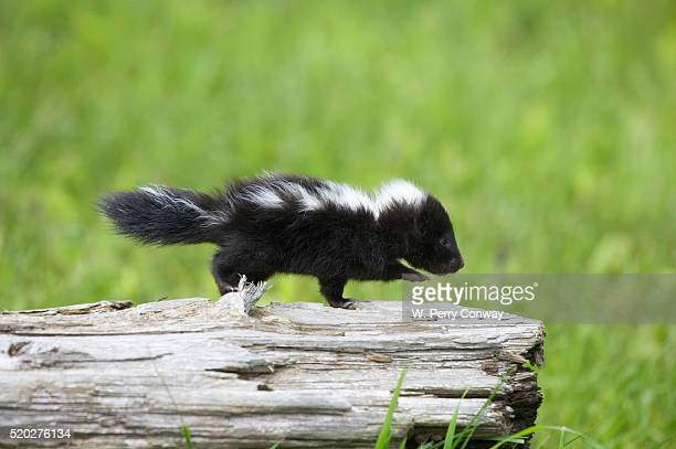 baby skunk on log - skunk stock pictures, royalty-free photos & images