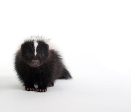 Baby Skunk on white 183536425
