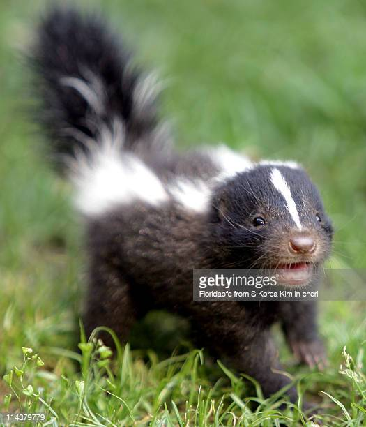 baby skunk - skunk stock pictures, royalty-free photos & images