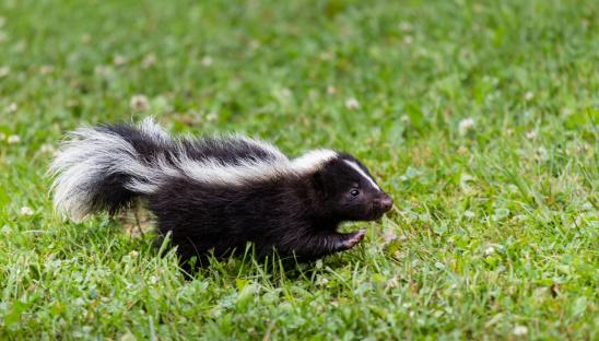 Baby Skunk 170024505