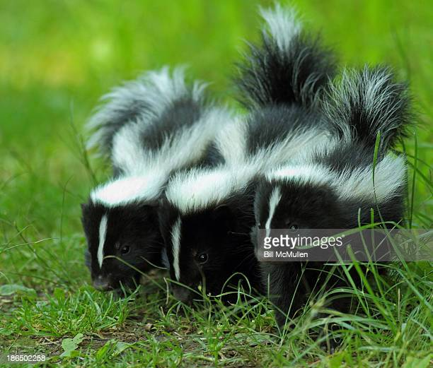 baby skunk trio - skunk stock pictures, royalty-free photos & images