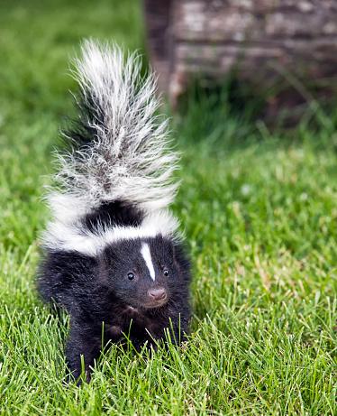 Baby skunk walking outside in green grass 453118799