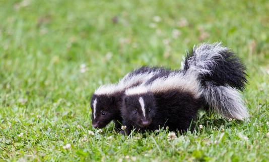 Baby Skunks 463219413
