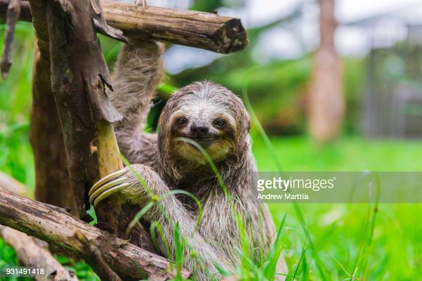 Baby sloth holding onto a wooden structure