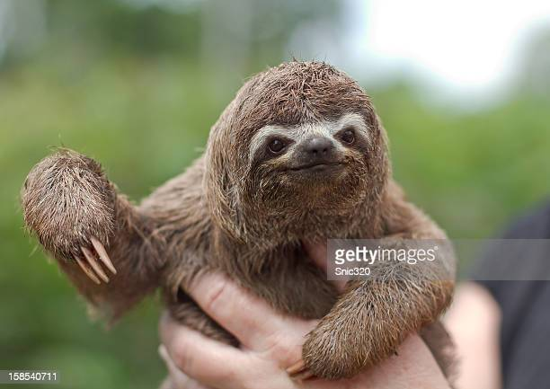 Baby sloth from the peruvian amazon