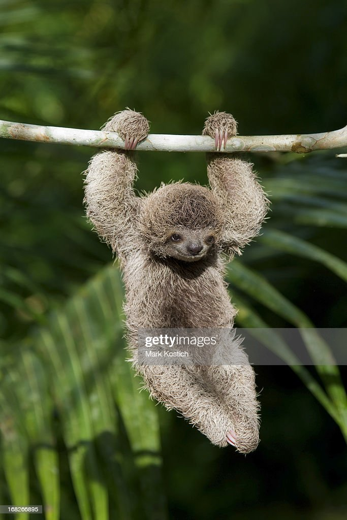 Baby Sloth : Stock Photo