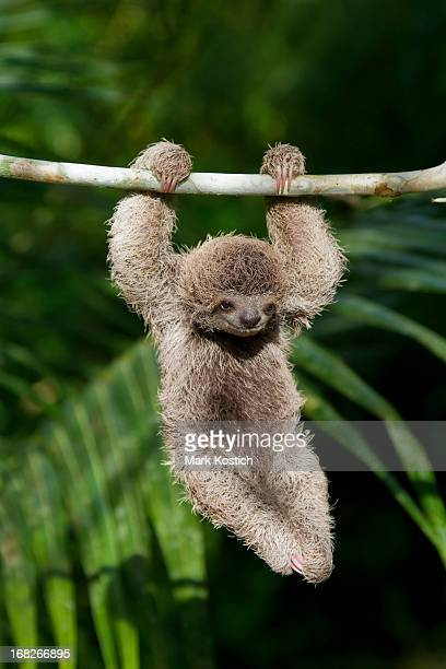 baby sloth - young animal stock pictures, royalty-free photos & images
