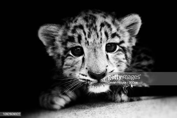 Baby Snow Leopard 2