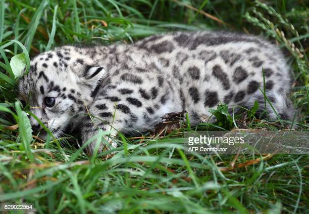 A baby snow leopard crawls through the grass at the Tierpark zoo in Berlin as he is prepared to get his first vaccination on August 10 2017 The male...