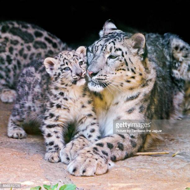 Baby snow leopard cuddling with mother