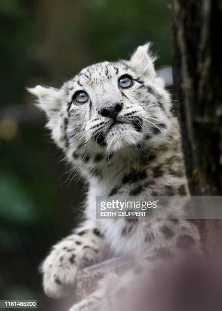 A baby snow leopard is pictured in its enclosure at the Wilhelma zoo in Stuttgart southern Germany on August 13 2019 The animal is one of two snow...