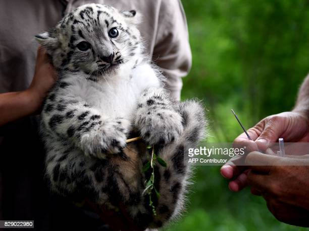 A baby snow leopard is prepared to get his first vaccination on August 10 2017 at the Tierpark zoo in Berlin The male snow leopard was born on June...