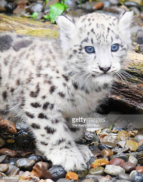 A baby snow leopard is seen at Asahiyama Zoo on June 26 2016 in Asahikawa Hokkaido Japan The baby leopard born in April opens to public