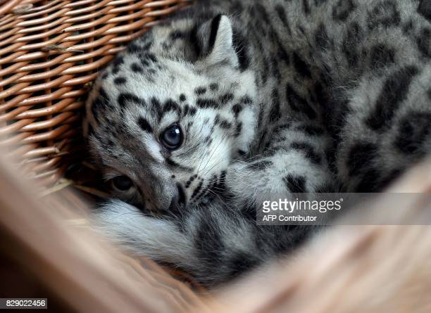 A baby snow leopard lays in a basket at the Tierpark zoo in Berlin as he gets his first vaccination on August 10 2017 The male snow leopard was born...