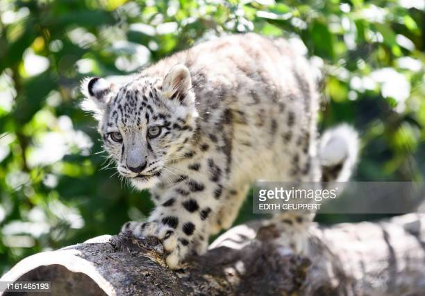 A baby snow leopard walks through its enclosure at the Wilhelma zoo in Stuttgart southern Germany on August 13 2019 The animal is one of two snow...