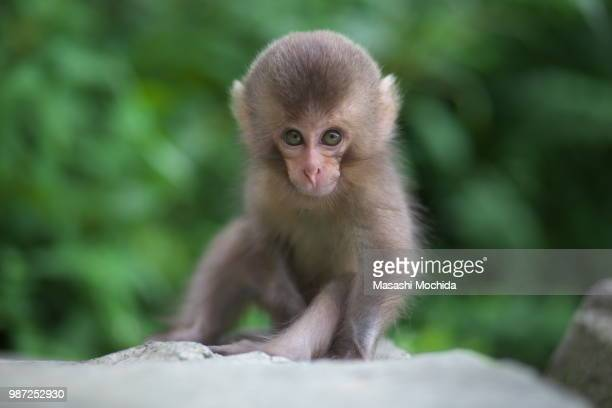 A baby snow monkey in Jigokudani Monkey Park, Nagano, Japan.