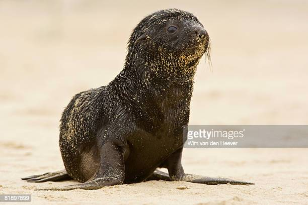 baby south african fur seal on sand, namibia, africa - otaria del capo foto e immagini stock