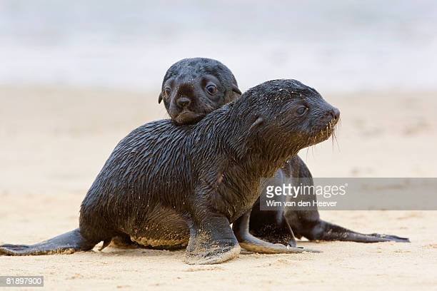 Baby South African Fur Seals on sand, Namibia, Africa