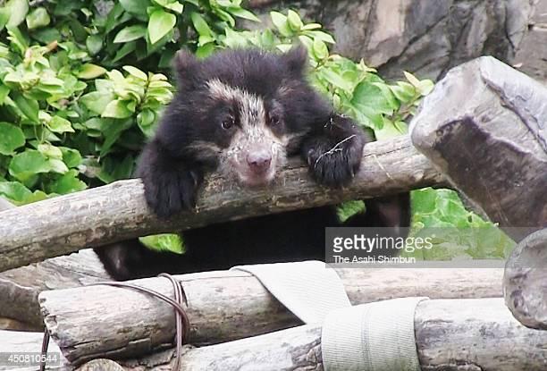 A baby Spectacled bear is seen at Zoorasia Yokohama Zoological Gardens on June 17 2014 in Yokohama Kanagawa Japan The twin bears born in January 28...
