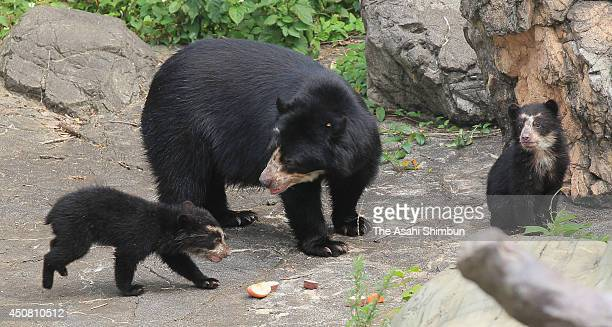 Baby Spectacled bears are seen with their mother Miu at Zoorasia Yokohama Zoological Gardens on June 17 2014 in Yokohama Kanagawa Japan The twin...