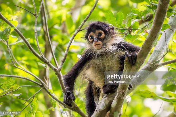 baby spider monkey - yucatan peninsula stock pictures, royalty-free photos & images