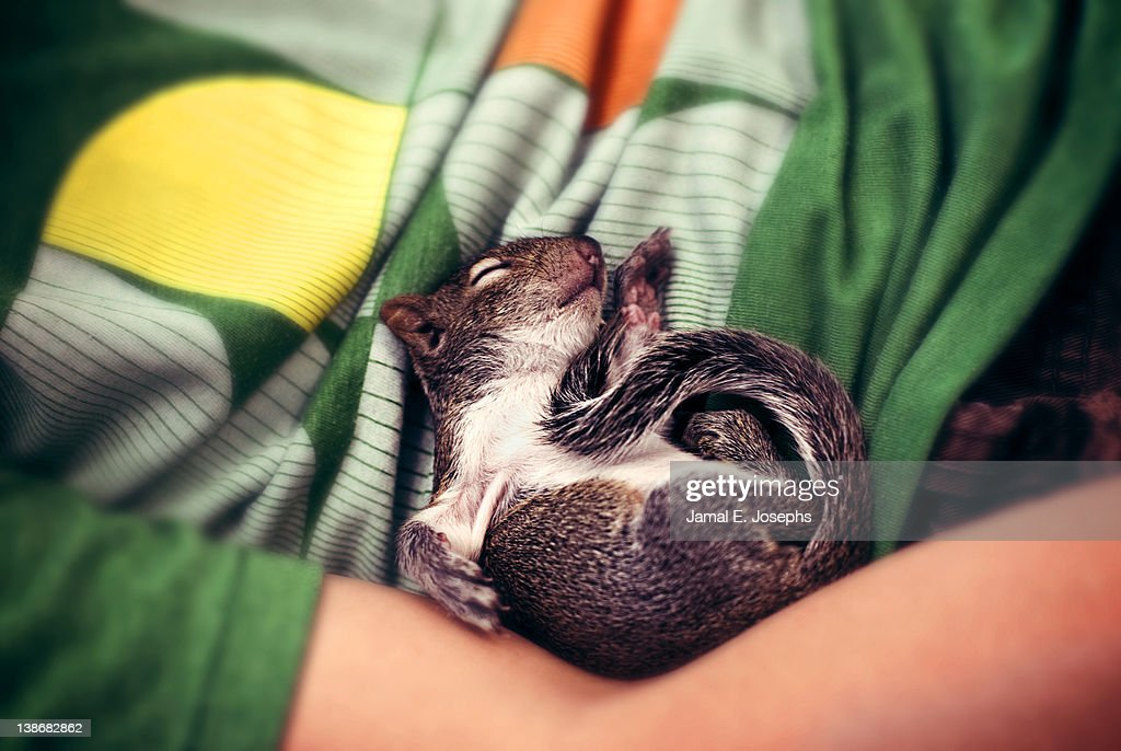 Baby squirrel curled up : Stock Photo