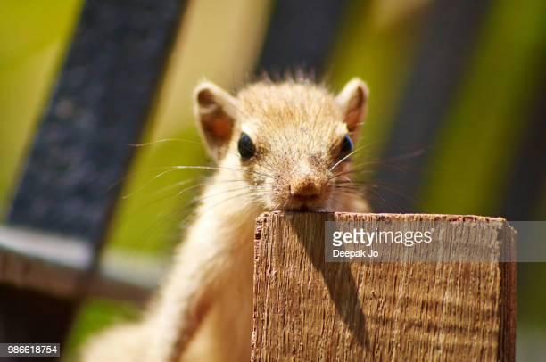 baby squirrel - jo wilder stock-fotos und bilder