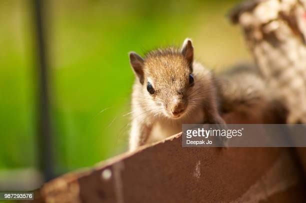baby squirrel posing - jo wilder stock-fotos und bilder