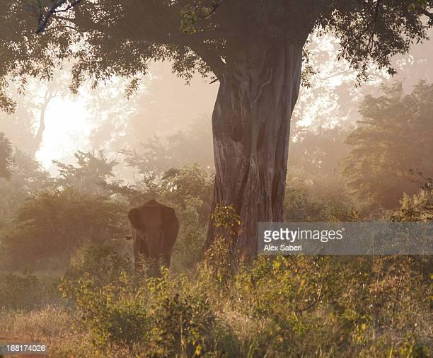 a baby sri lankan elephant walks through the bush in early morning. - alex saberi fotografías e imágenes de stock