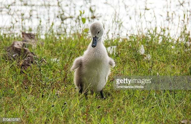 baby steps - ugly duckling stock photos and pictures