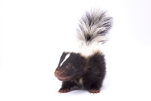 Baby striped skunk, Mephitis mephitis 866034662