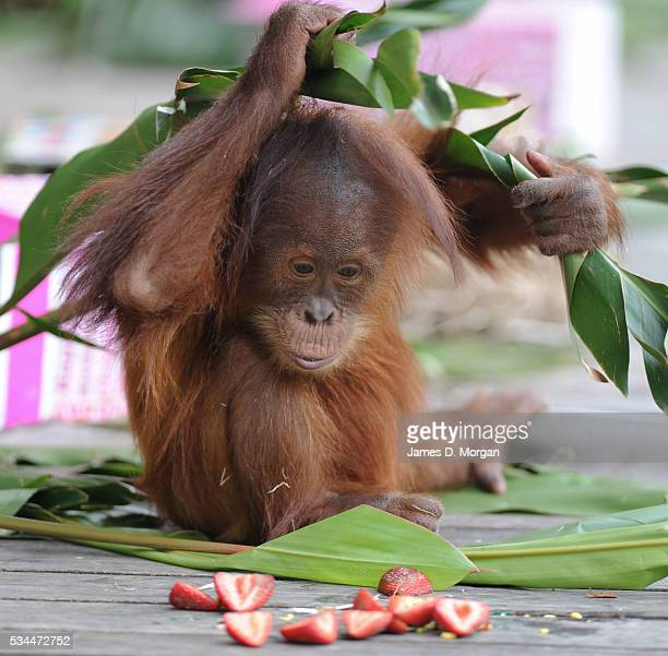 Baby Sumatran Orangutan Dewi celebrated with a birthday party at her home Melbourne Zoo on December 6 2012 in Melbourne Australia