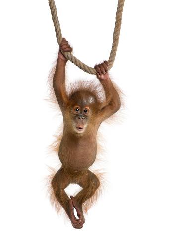 A baby Sumatran orangutan hanging from a rope 118418652