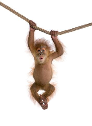 Baby Sumatran Orangutan hanging on a rope against white background 118439284